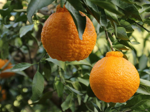 What is this sumo orange from Japan – and is it any good?