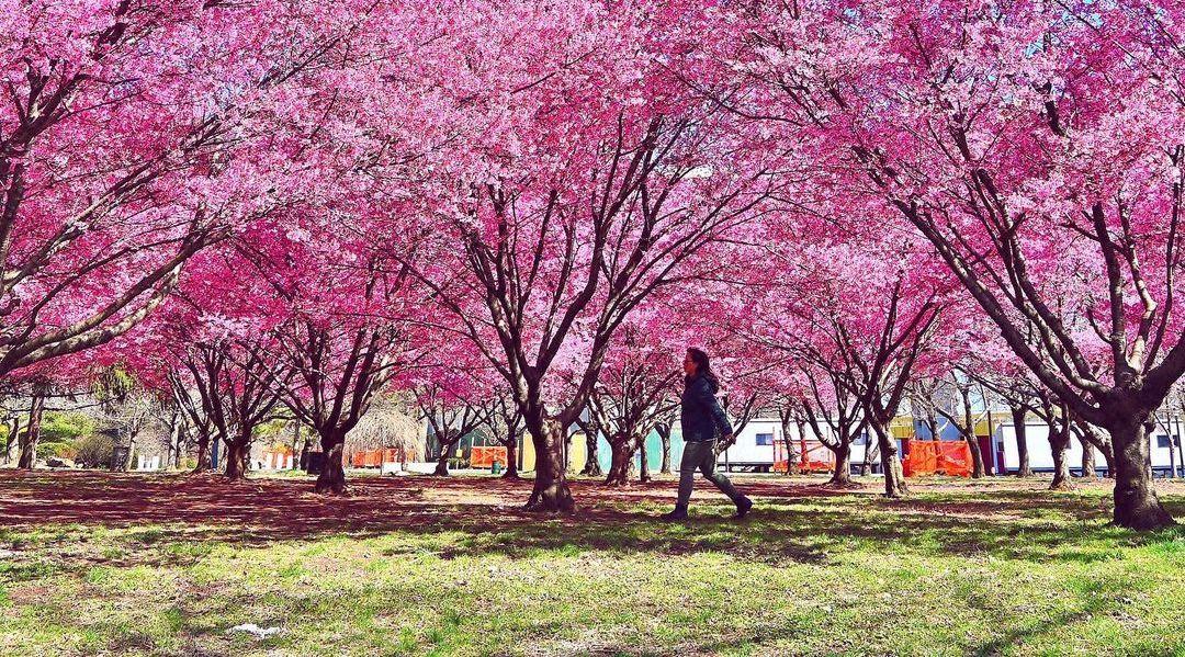 Sakura Matsuri Cherry Blossom Festival Nyc Guide 2021