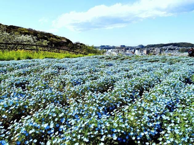Poppy Nemophila Season