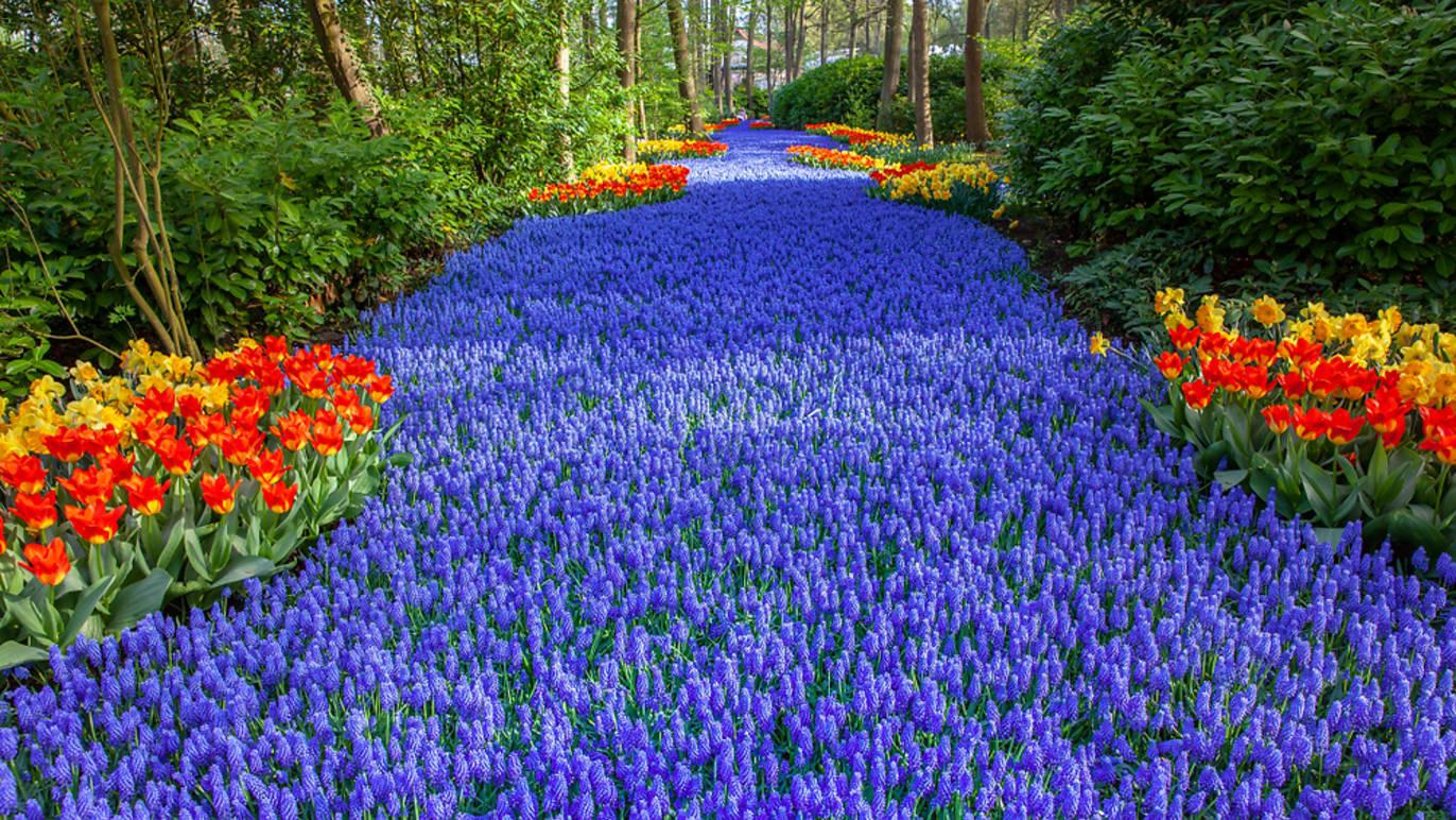 Faça um passeio pelo jardim de tulipas mais espectacular da Holanda