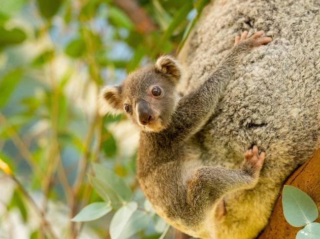Baby koala clings to mother's back