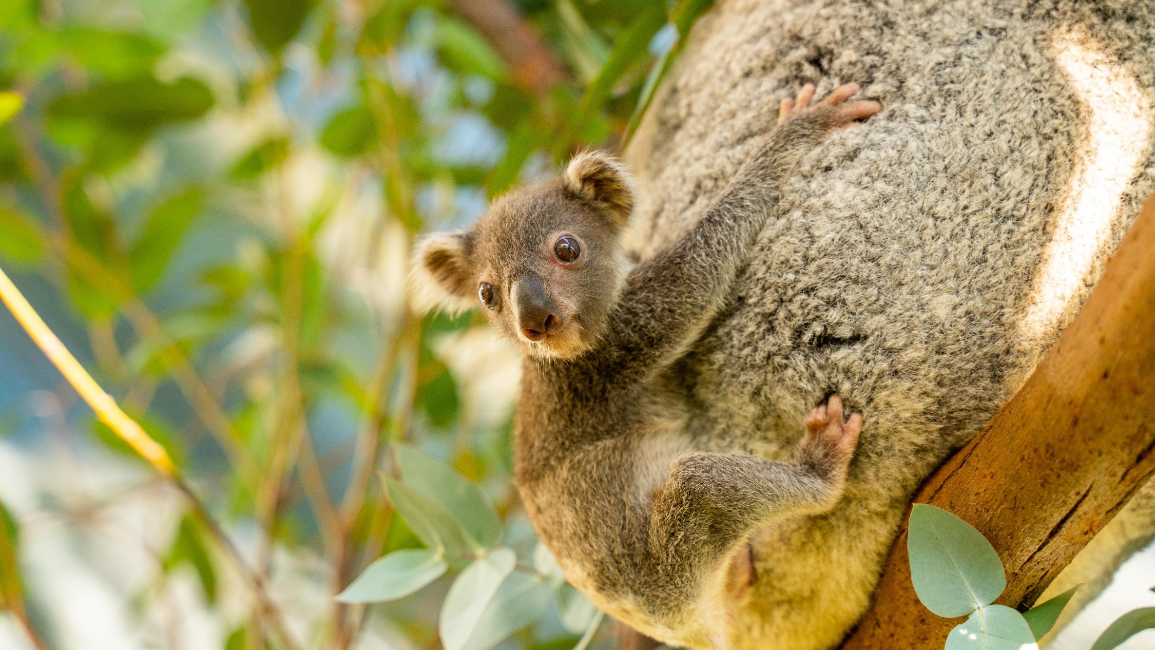 This Sydney zoo wants your help to name its new baby koala