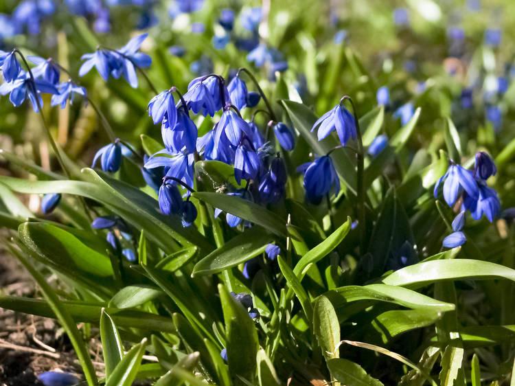 Spot bluebells blooming across London