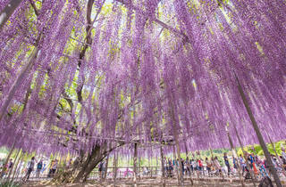 Ashikaga Flower Park – cropped to size