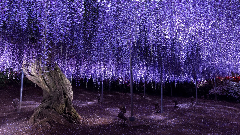 Ashikaga Flower Park, wisteria