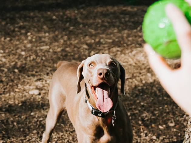 A dog looks up to a hand holding a green ball, poised to chase it.