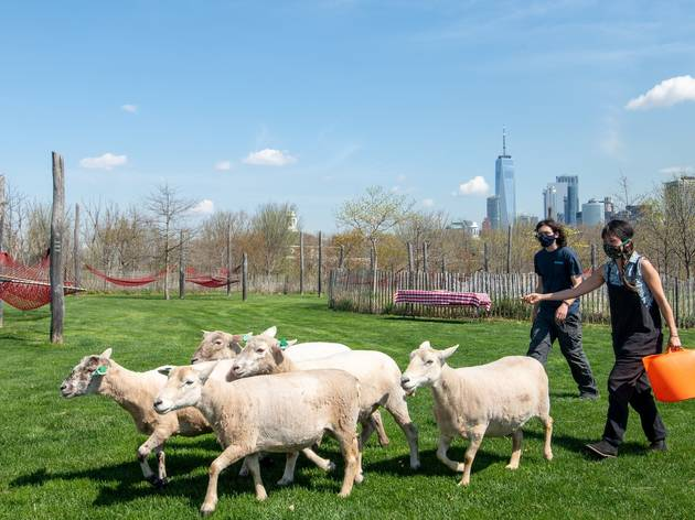A herd of sheep will be grazing on Governors Island this summer