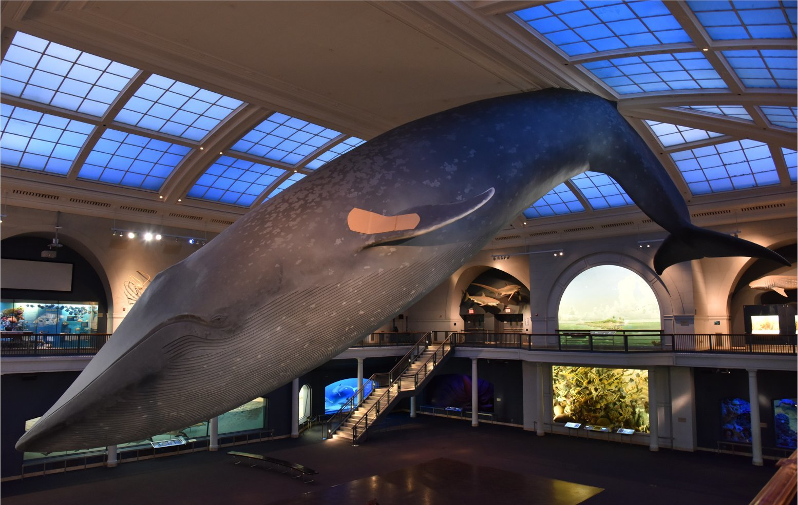 You can now get vaccinated under the giant blue whale at the American Museum of Natural History