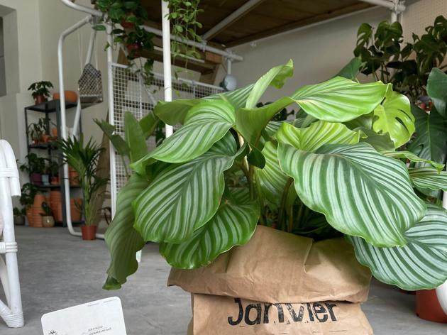 Janvier Plants