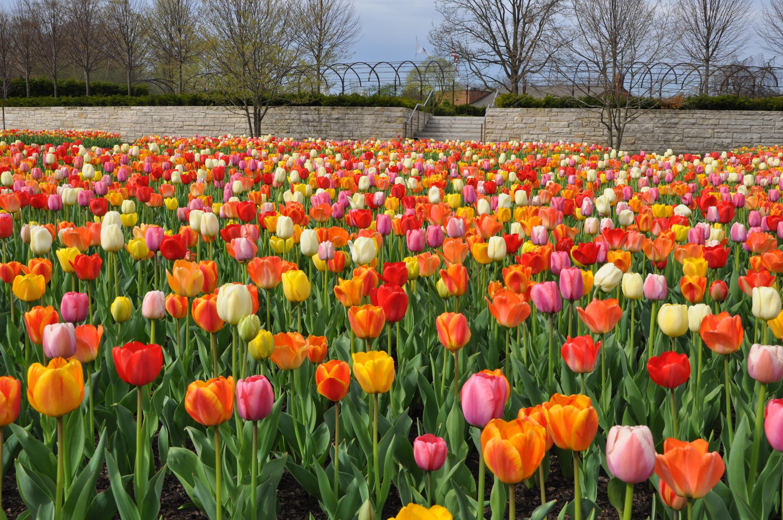 Cangtigny Park tulips