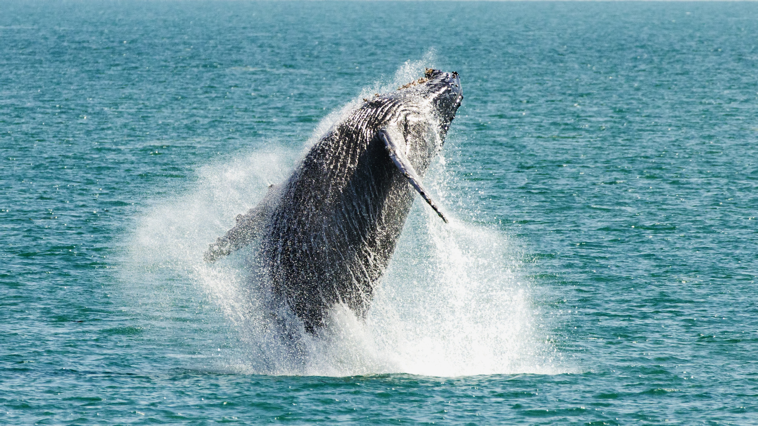 A humpback whale breaches from the water