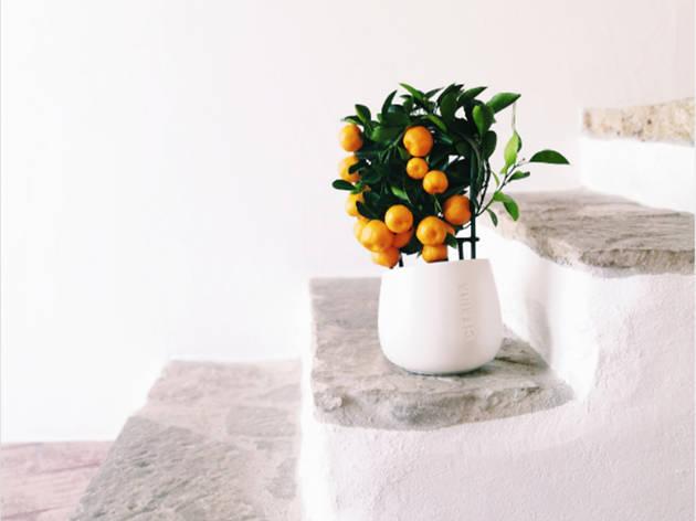 Compras, Plantas, Citrina Plants