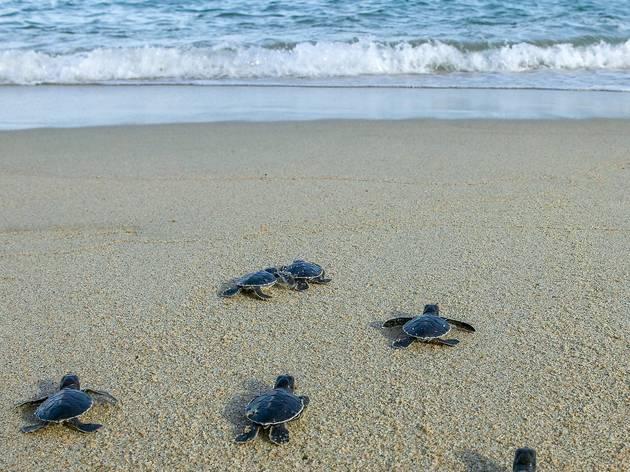Tortugas en Marquelia