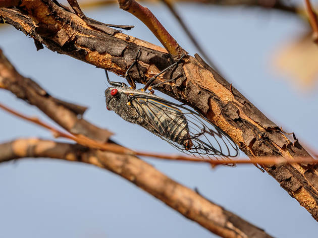 Brood X cicadas are back and ready to take over your summer