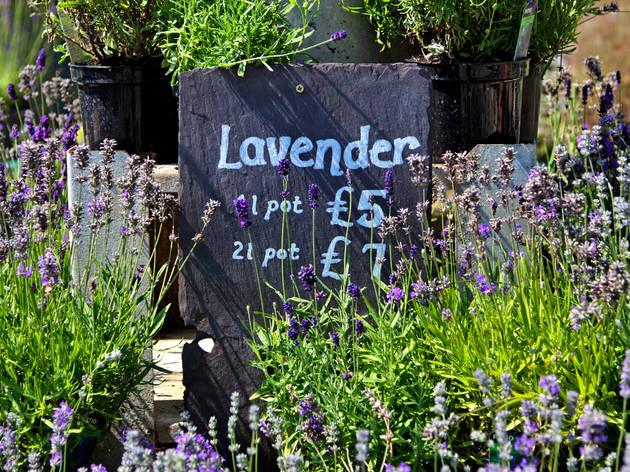 Lavender for sale at Horsepond Farm, Somerset