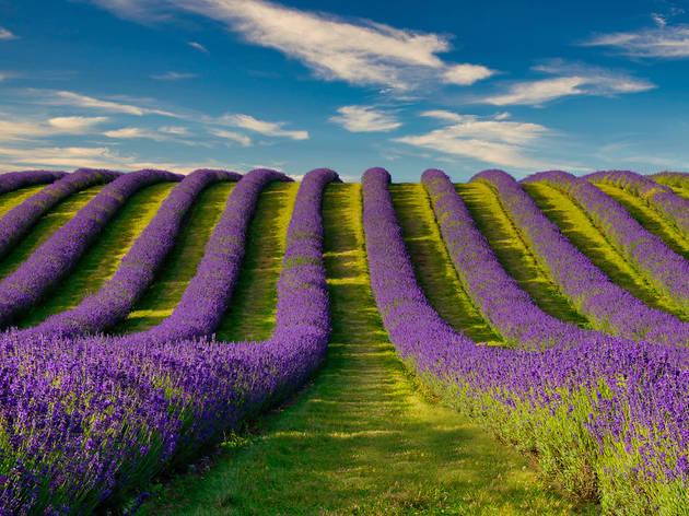 Lines of lavender growing in a field in Tarhill Farm in Kinross, Scotland