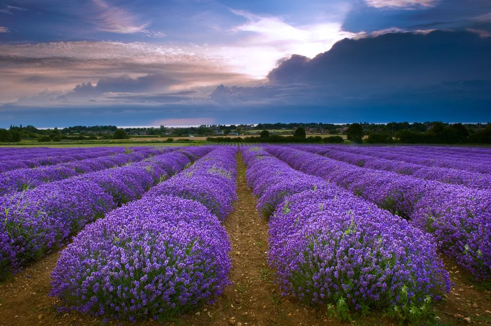 Heacham lavender field in Norfolk, England