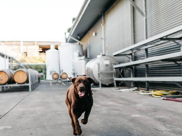 Rob Dolan wine dogs