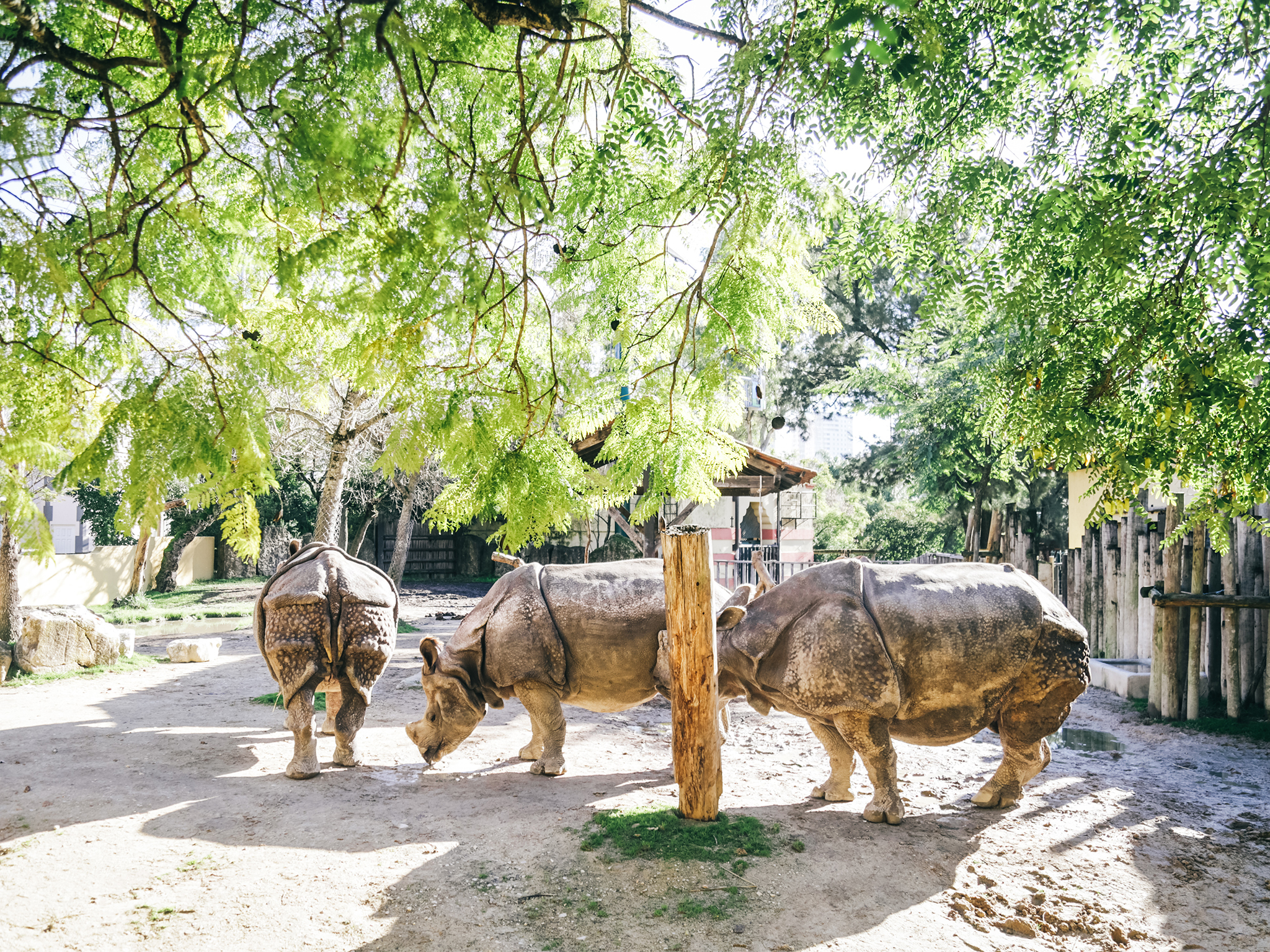 Animais, Jardim Zoológico de Lisboa, Rinocerontes
