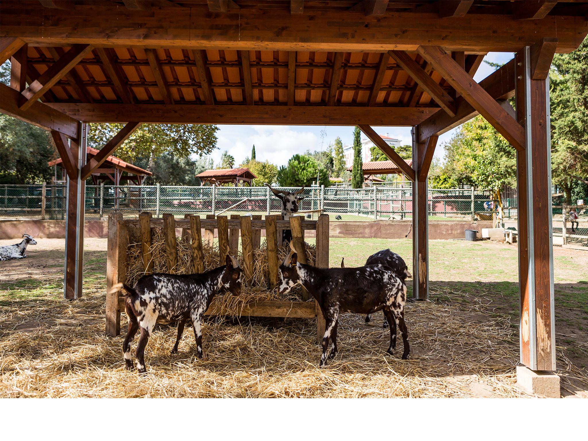 Quinta Pedagógica dos Olivais, Animais, Cabras
