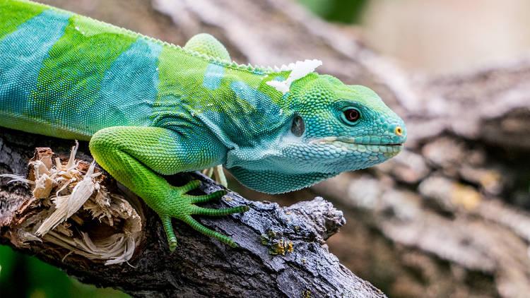 Iguana sobre tronco