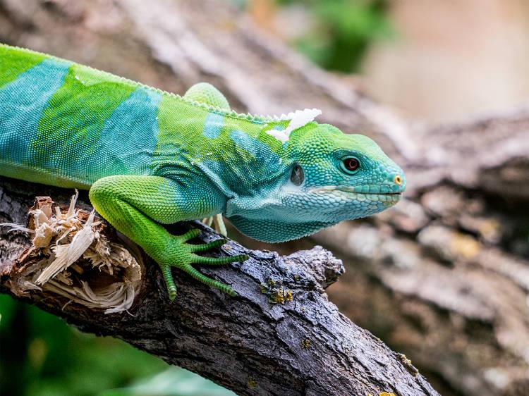 5 tips para cuidar a tu iguana