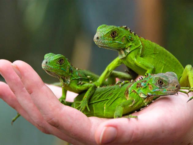 Tres iguanas pequeñas sobre una mano