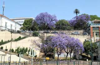 Jacarandás em Lisboa