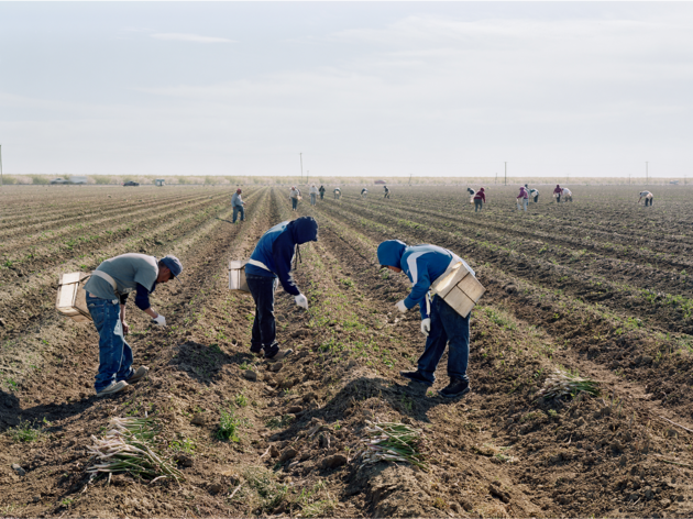 An-My Lê, Migrant Workers Harvesting Asparagus, Mendota, California, 2019
