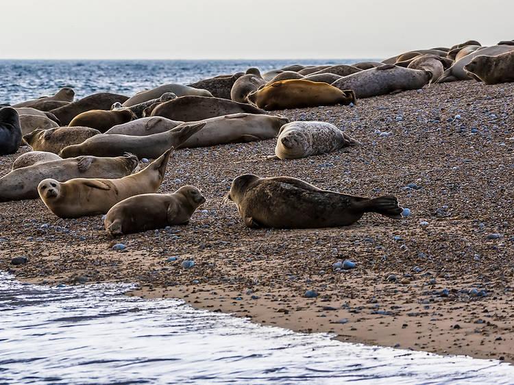 Spot seals at Blakeney Point in Norfolk