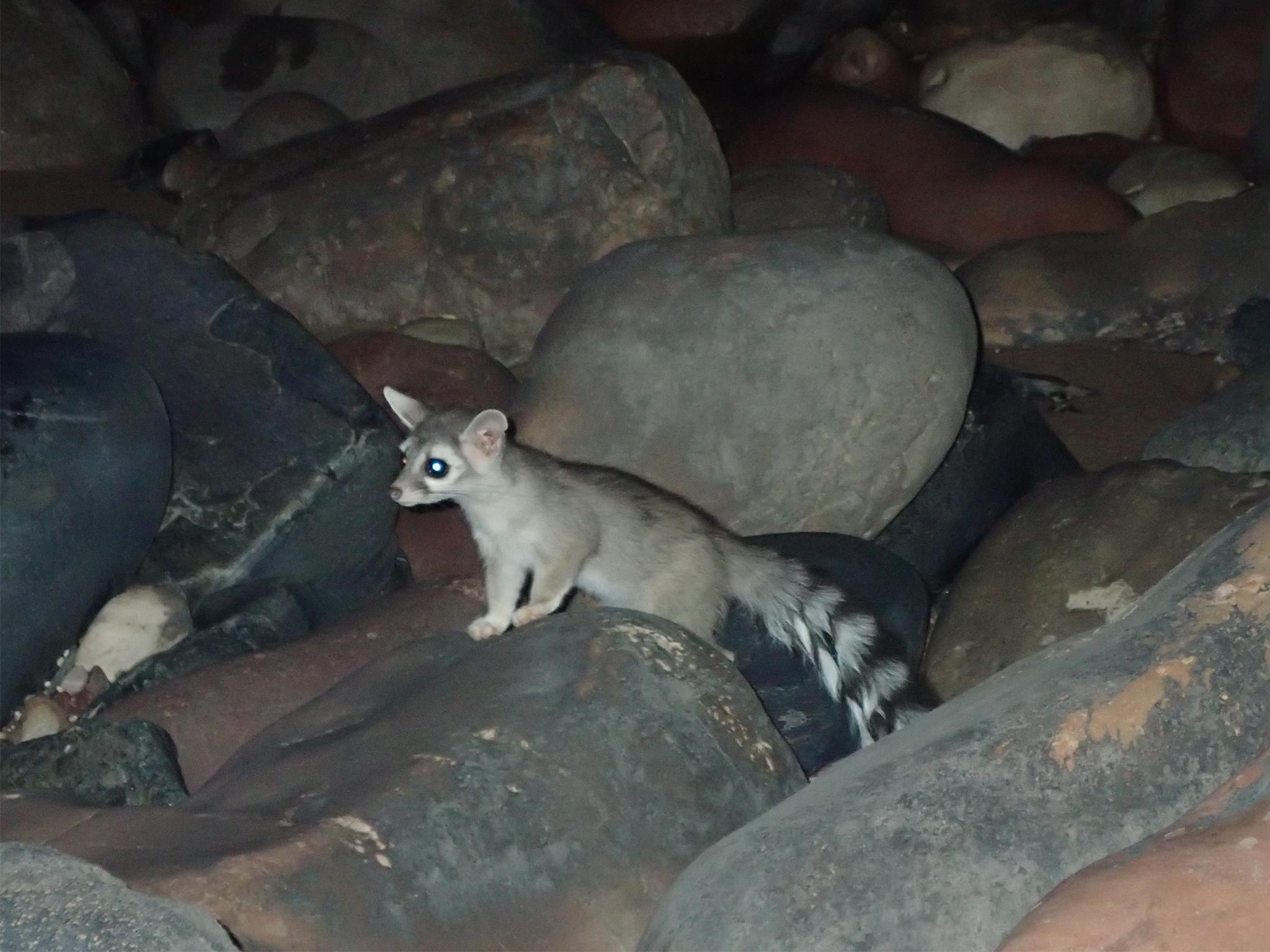 Cacomixtle de perfil captado durante la noche sobre unas rocas