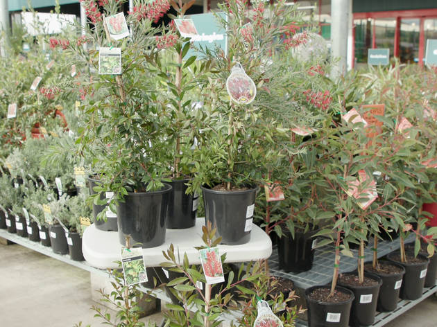 Bunnings is giving away 26,500 free trees to people living in Greater Sydney