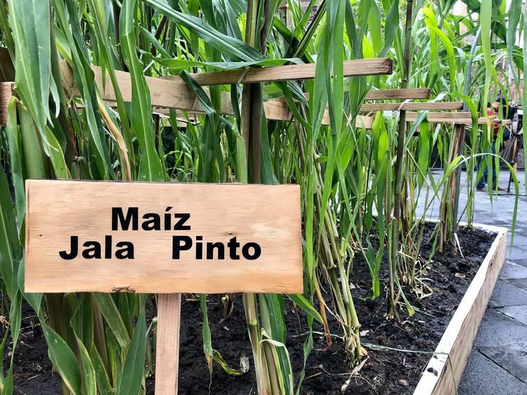 Tierra de maíces