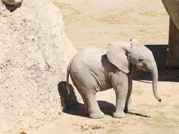 Conoce a Lester, el elefante bebé de Africam Safari