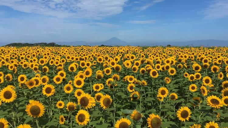 Soleil Sunflower Festival