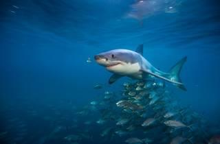 Sharks (Telefonica)