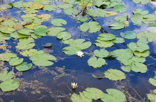 Walk around Kopački Rit's wonderful water lily expanses
