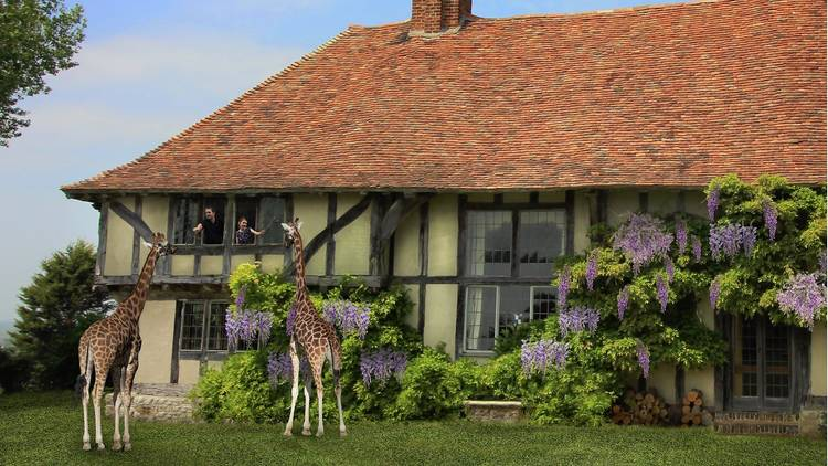 A traditional Tudor style beamed cottage covered in purple wisteria, with two giraffes stood outside