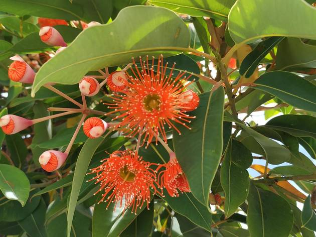 Eucalipto de flor vermelha – uma árvore rara para ver à beira-Tejo