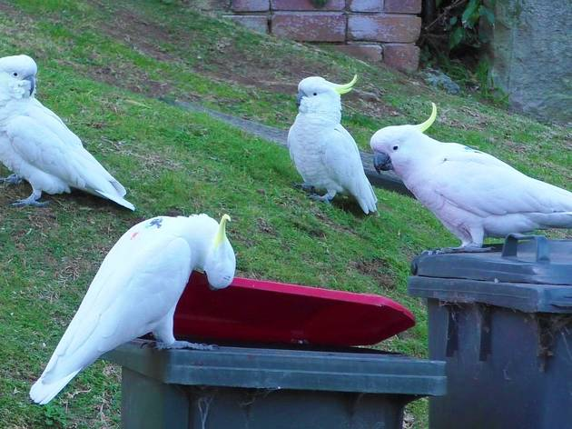 Science finds that Sydney's cockatoos have taught each other to open wheelie bins