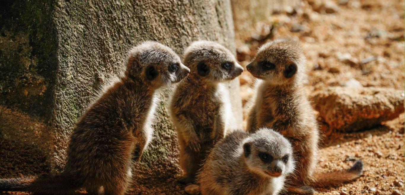 Zoo de Lisboa tem novas crias de suricata e muitas outras surpresas