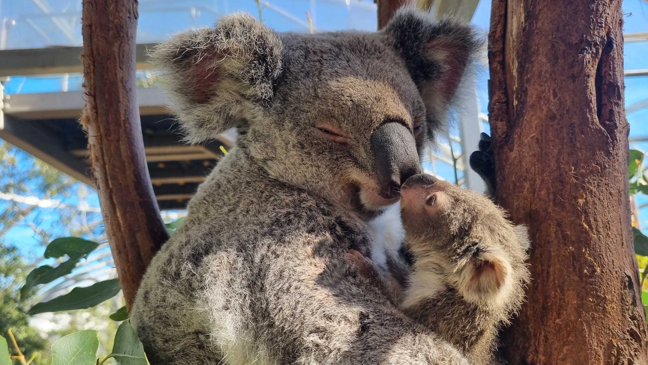 You can name one of the new koala babies at this zoo in Sydney and win a prize