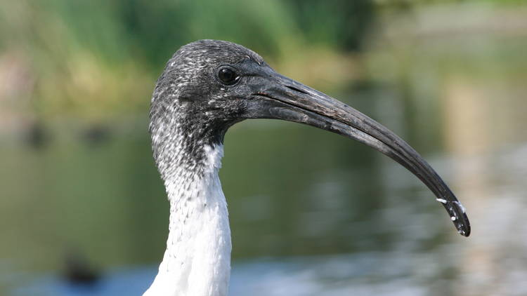 The head of a juvenile Australian white ibis
