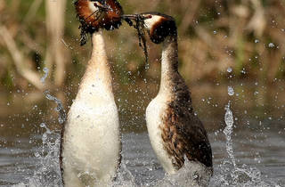 Great Crested Grebe (Saleel Tambe)