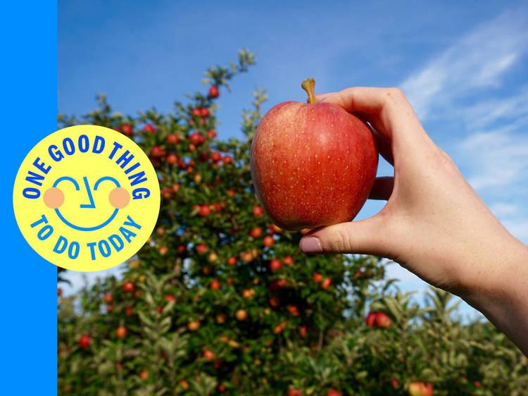 Pick apples in Fishkill