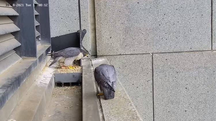 Two peregrine falcons nesting on a skyscraper