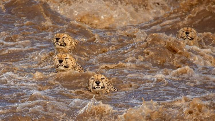 This picture of some bedraggled cheetahs is among the winners of Wildlife Photographer of the Year 2021