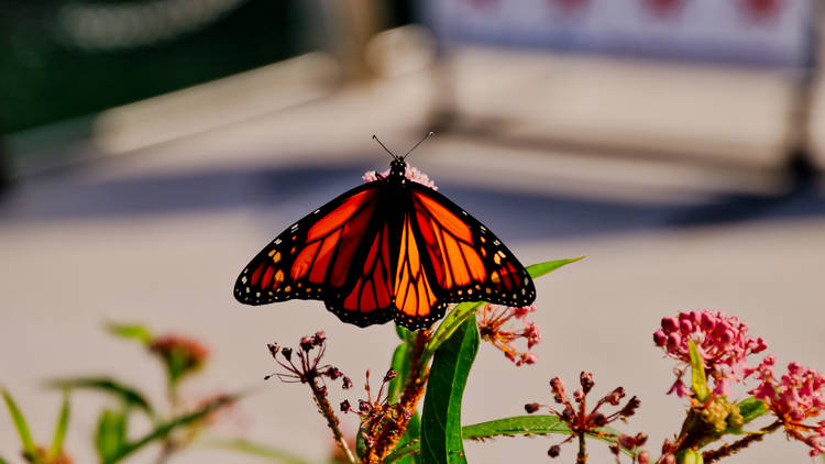 Monarch butterfly in Chicago