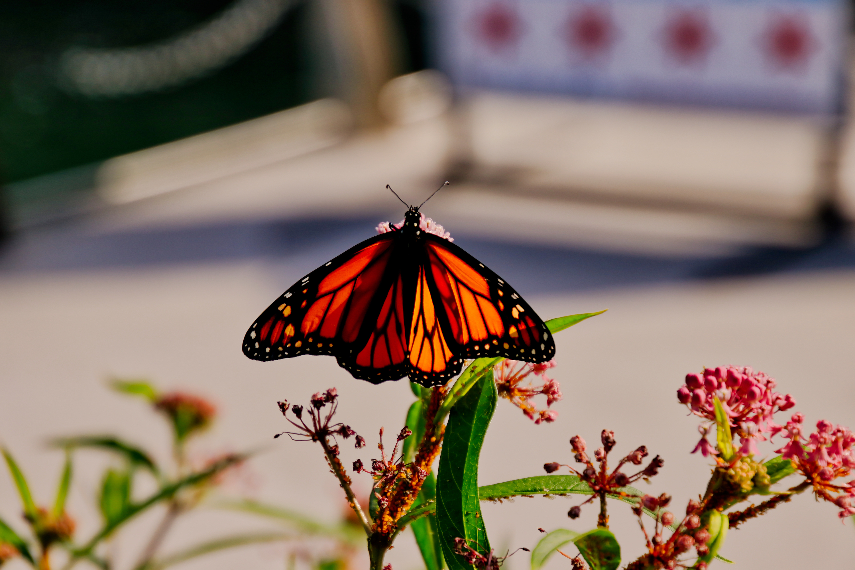 How to spot migrating monarch butterflies in Chicago this week