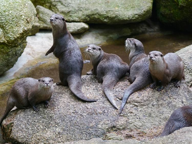 Watch Melbourne Zoo's otter cam
